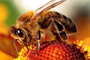 Wikimedia Commons: https://commons.wikimedia.org/wiki/File:Bee-apis.jpg