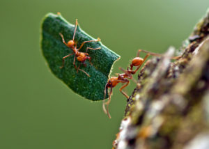 https://commons.wikimedia.org/wiki/File:Hitchiking_leafcutter_ant.jpg