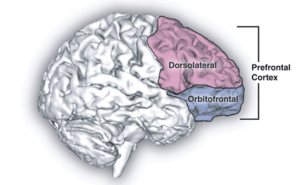 https://commons.wikimedia.org/wiki/File:Prefrontal_cortex.png