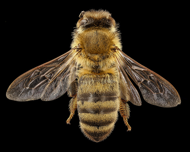 Honey Bees: Conservation Icon or Environmental Problem?