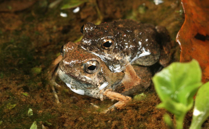 Are female túngara frogs better at learning than males because of how they breed?