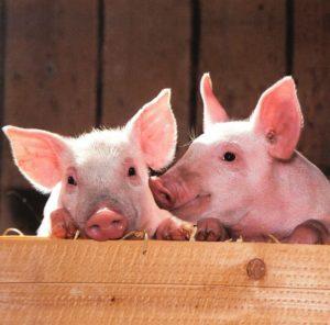 https://www.publicdomainpictures.net/en/view-image.php?image=215663&picture=pigs
