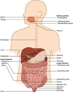 Cartoon depiction of the components of the human digestive system including labels
