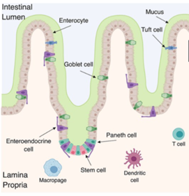 Cartoon schematic of the intestinal epithelial system