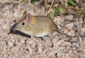 https://en.wikipedia.org/wiki/Bushveld_elephant_shrew