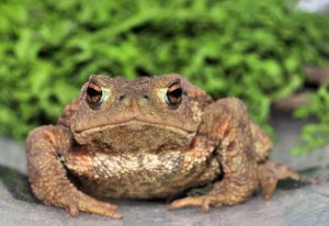 https://commons.wikimedia.org/wiki/File:Bufo_bufo_04_13Jul2009.jpg
