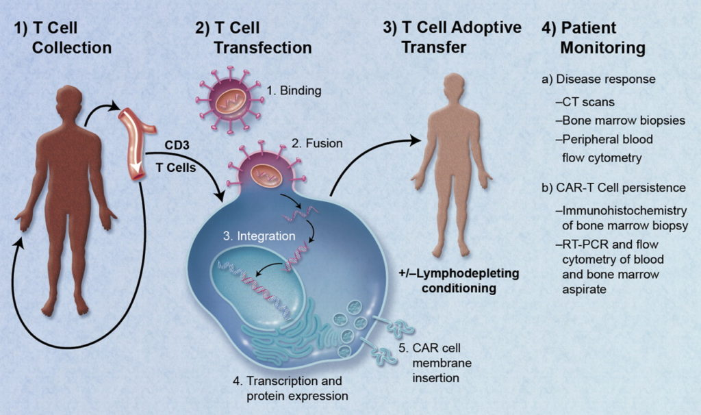 From: https://commons.wikimedia.org/wiki/File:CAR-Engineered_T-Cell_Adoptive_Transfer.jpg