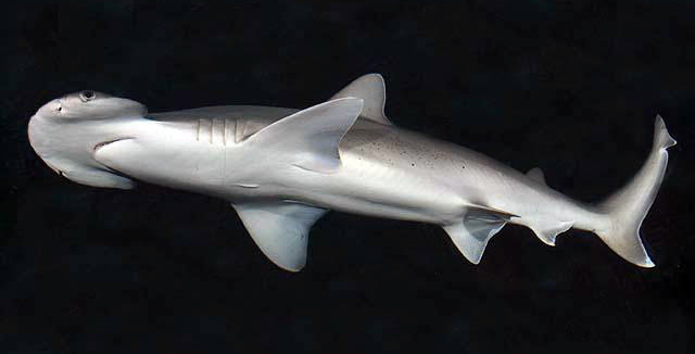 Bonnethead Shark: The Newest Veggie Lovers of the Sea