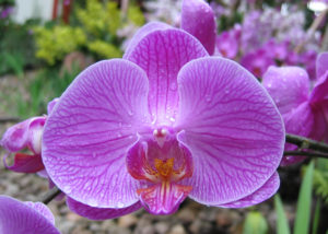 https://commons.wikimedia.org/wiki/File:Phaedriel%27s-orchid.jpeg