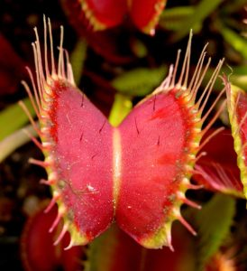 https://commons.wikimedia.org/wiki/File:Venus_Flytrap_showing_trigger_hairs.jpg