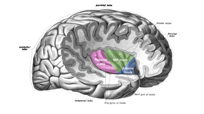 https://en.wikipedia.org/wiki/Interoception#/media/File:Insula_structure.png