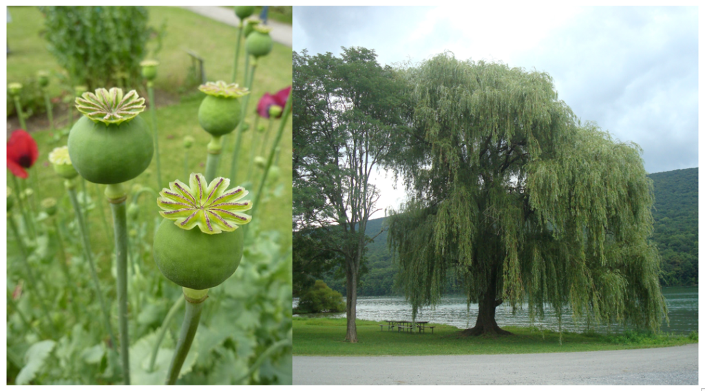 https://commons.wikimedia.org/wiki/File:Papaver_somniferum_%27Opium_poppy%27_(Papaveraceae)_seed_pod.JPG https://commons.wikimedia.org/wiki/File:2014_Bald_Eagle_State_Park_weeping_willow.jpg
