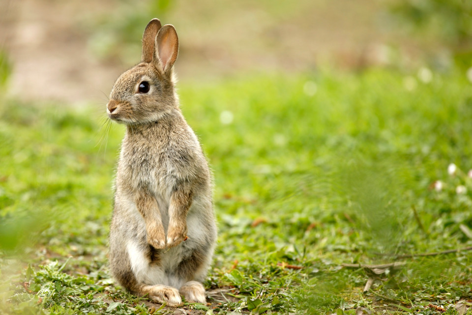 A rabbit standing on its hind legs in a field.